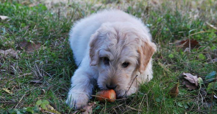 Avvelenamento dei cani: causa, sintomi e rimedi
