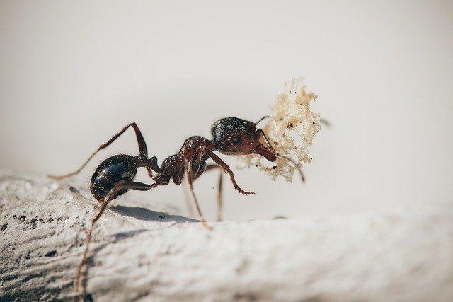 Quando le formiche entrano in casa come eliminarle